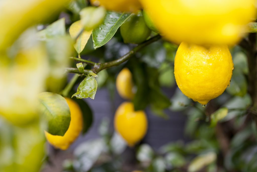 Beautiful yellow lemons