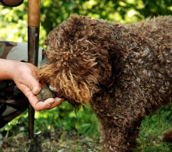 Dog hunting Truffle in Tuscany Tour