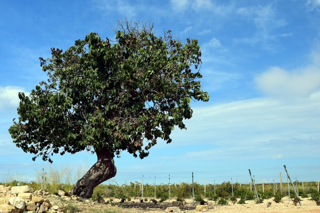Old Sicilian mulberry tree